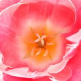 _MG_2432.jpg Tulip - Warm Temperate Biome - © A Santillo 2009