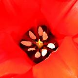 _MG_2440A-7in-x-7in-300dpi.jpg Tulip - Warm Temperate Biome - © A Santillo 2009