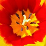 _MG_2452A.jpg Tulip - Warm Temperate Biome - © A Santillo 2009