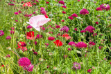 _MG_2535.jpg Poppies and Scabiousa - Outdoor Biome - © A Santillo 2009