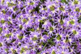 IMG_7427-2.jpg Flan Flower Scaevola 'Aussie Crawl' - Goodeniaceae - Mediterranean Biome - © A Santillo 2017