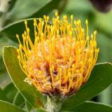 IMG_7430-Edit.jpg Pincushion Leuospermum cuneiforme - Proteaceae - Mediterranean Biome - © A Santillo 2017