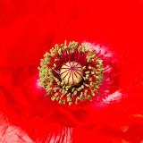 IMG_2698-Edit.jpg Poppy 'papaver' - The Garden House - © A Santillo 2010