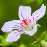 IMG_4048.jpg Geranium - The Garden House - © A Santillo 2012