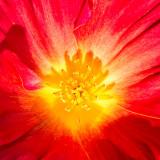 IMG_4572.jpg Poppy 'Papaver' - The Garden House - © A Santillo 2013