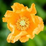 IMG_6641-Edit.jpg Poppy subfamily Papaveroideae - The Garden House - © A Santillo 2015