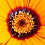 _MG_1731B.jpg Osteospermum - Asteraceae - The Garden House - © A Santillo 2007
