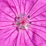 _MG_1759B-7in-x-7in-300dpi.jpg Geranium 'Ann Folkard' - The Garden House - © A Santillo 2007
