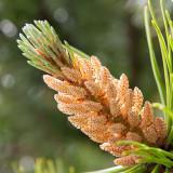 _MG_2209-Edit.jpg Unknown pine cone - The Garden House - © A Santillo 2008