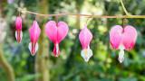 IMG_7448-Edit.jpg Lamprocapnos spectabilis (Dicentra) 'Bleeding Heart' - The Lost Gardens of Heligan - © A Santillo 2017