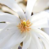 IMG_2884.jpg Magnolia Stellata Magnoliaceae - Mount Edgecumbe Park - © A Santillo 2009