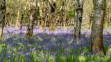 IMG_6626.jpg Bluebells in wood - Mount Edgecumbe Park - © A Santillo 2015