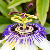 IMG_6873.jpg Passion Flower 'Passiflora' - Passifloraceae - Mount Edgecumbe Park - © A Santillo 2009