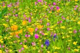 _MG_2211.jpg Wild flower meadow - The Garden House - © A Santillo 2008
