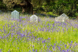 IMG_7337.jpg Bluebells in St Hydroc Church yard gravestones - © A Santillo 2017