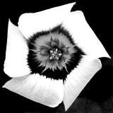 IMG_3486b.jpg Oxalis Inops - South African - RHS Garden Harlow Carr - © A Santillo 2014
