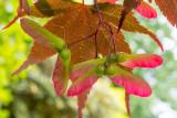 IMG_7473-Edit.jpg Maple 'Acer' - The Garden House - © A Santillo 2017