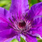 IMG_7917 Clematis 'Viola' - Ranunculaceae - RHS Rosemoor - © A Santillo 2018
