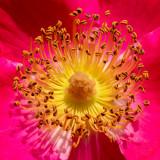 IMG_7923 Rosa Dortmund - Rosaceae - RHS Rosemoor - © A Santillo 2018