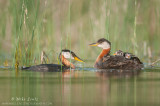 Red-necked Grebe family in reeds