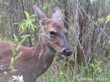 Chevreuils(Cerf de Virginie) - Deer