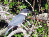 Martin-pêcheur - Belted Kingfisher