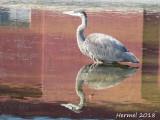 Grand Héron - 2018 -  Great blue Heron