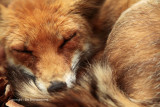 Slapende vos - Sleeping fox