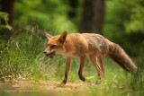 Vos met muizen - Fox with mice