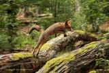 Springende vos - Jumping fox