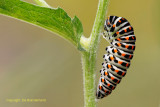 Koninginnenpage - Swallowtail
