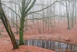 Beukenbos - Beech forest