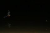Prey-and Predator_Myotis daubentonii.jpg