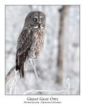 Great Gray Owl-204