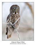 Great Gray Owl-206