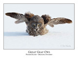 Great Gray Owl-209