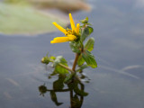 Beck's Water Marigold