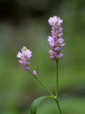 Long-bristled Smartweed
