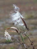 Butterflyweed Seeds