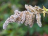 Rough-stemmed Goldenrod