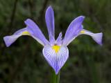 Southern Blue Flag Iris