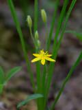 Yellow Stargrass