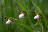 Andrew's Lady's Slipper Orchid