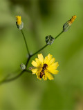 Nipplewort with Syrphid Fly