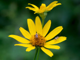 Oxeye with Plant Bugs
