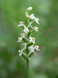 Club Spur Orchid