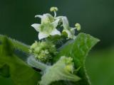 Bur Cucumber