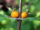 Orange-fruited Horse Gentian