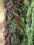 Virginia Creeper Vine on Ash Tree