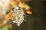 Dewdrop Spider (Argyrodes Sps)